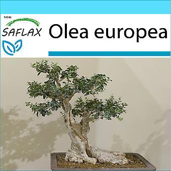 Saflax - Gift Set - 20 seeds - Bonsai - Common Olive - Olivier - Olivo - Olivo - B - Ölbaum