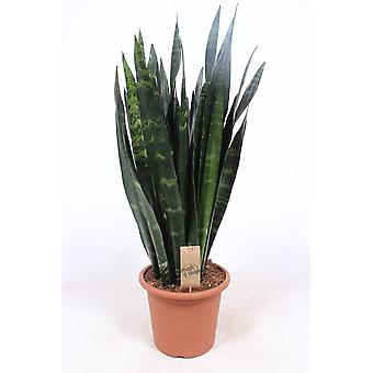 Zimmerpflanze von Botanicly – Bogenhanf – Höhe: 85 cm – Sanseviera Black Coral