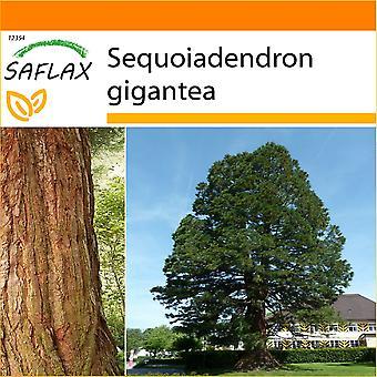 Saflax - Garten in der Tasche - 50 Samen - Kalifornien riesigen Redwood - Séquoia Géant - Sequoia Gigante - Árbol Mamut - Berg - Mammutbaum