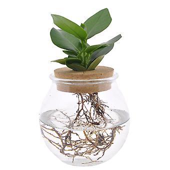 Plante d'intérieur – pommier baumier dans un verre décoratif comme un ensemble – Hauteur: 25 cm