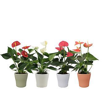 Piante da interno da Botanicly – 4 × Anthurium Mix in vaso bianco come set – Altezza: 36 cm