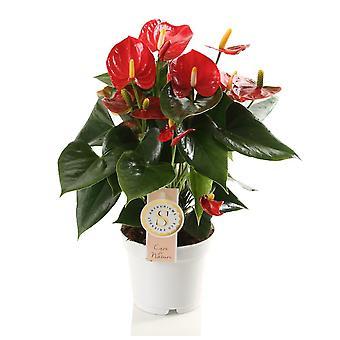 Inomhusplanta från Botanicly – Flamingoblomma – Höjd: 40 cm – Anthurium andreanum Red Champion