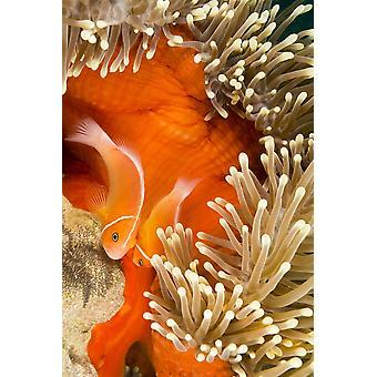 Questo comune pesce pagliaccio (Amphiprion perideraion) più spesso si trovano associati con l'anemone (Heteractis magnifica) come nella foto qui maschio e femmina tendono a uova recentemente collegate al botto