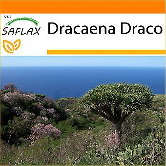 Saflax - giardino nel sacchetto - 5 semi - albero del drago - Dragonnier des Canaries - Albero del drago - Drago de Canarias - Drachenbaum