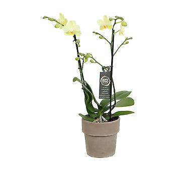 Choice of Green - Phalaenopsis Amore Mio Green Pixie in terracotta pot - Butterfly Orchid
