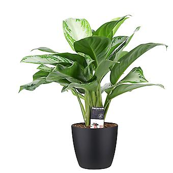 Indoor Plant – Chinese evergreens in black plant pot as a set – Height: 50 cm