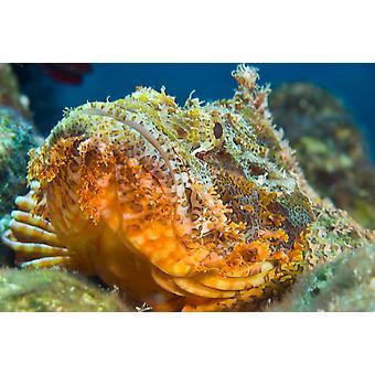 Papuan scorpionfish oranssinpunainen väri makaa reef pää Katso Kimbe Bay Papua-Uusi-Guinea Juliste Tulosta