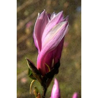 Pink Tulip Tree II Poster Print by George Johnson