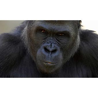 Western Lowland Gorilla portrait native to Africa Poster Print by San Diego Zoo