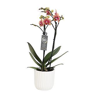 Keuze van Green-Phalaenopsis Amore mio Savion in witte keramische pot-Butterfly Orchid
