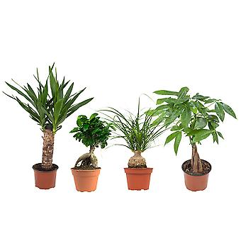 Indoor trees – 4 × Tropical green plants mix – Height: 35 cm