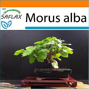 Saflax - o saco - 200 sementes - Bonsai - Mulberry branco - Mûrier blanc - Moro bianco - Morera blanca - B - Weißer Maulbeerbaum no jardim