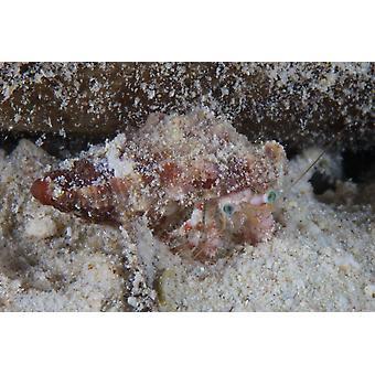 Small hermit crab Bonaire Caribbean Netherlands Poster Print