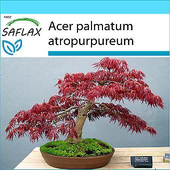 Saflax - dom Set - 20 sementes - Bonsai - ácer japonês - Erable du Japon pourpre - Acero palmato rosso - Arce japonés - B - Fächerahorn Roter