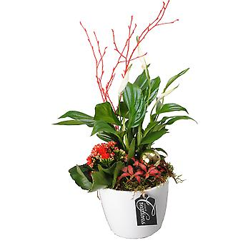 Indoor tree from Botanicly – Christmas Set – Height: 45 cm