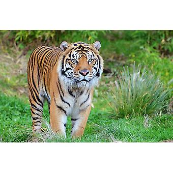 Vægmaleri Sumatran Tiger