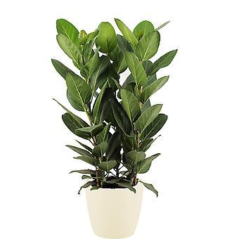 Ficus Audrey in 30 cm ELHO sierpot (soap) 90 cm hoogte