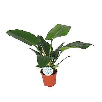 Zimmerpflanze von Botanicly – Baumfreund – Höhe: 50 cm – Philodendron imperial Green