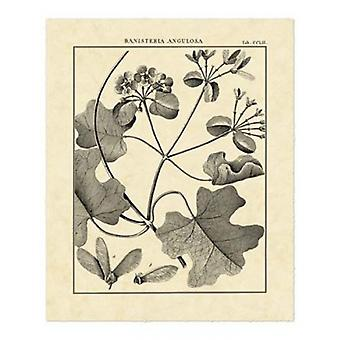 Vintage Botanical Study II Poster Print by Sellier (16 x 20)