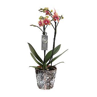 Val av grön-Phalaenopsis Amore Mio Savion i trä Pot-Butterfly Orchid