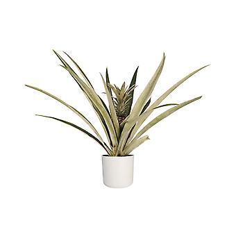 Prydanas ↕ 55 til 55 cm fås med plantageejer | Ananas champaca