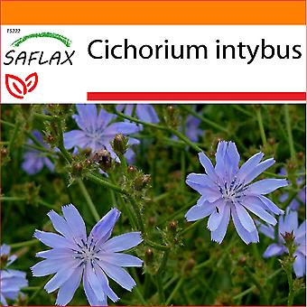 Saflax - Garden i kommunen Bag - 250 frø - sikori - Chicorée sauvage - Cicoria - Escarola - Wegwarte