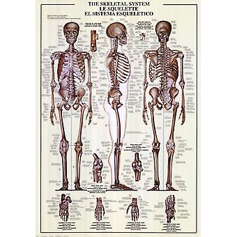 Le système squelettique Poster Print (27 x 39)