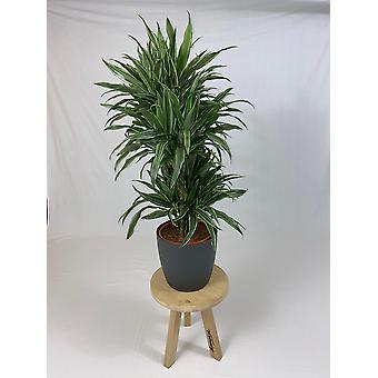 Planta Interior – Árvore dragão em vaso de planta de antracito como um conjunto – Altura: 120 cm
