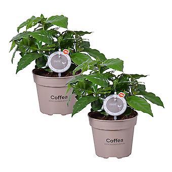 MoreLIPS® - 2X Koffieplant - luchtzuiverende kamerplantenCoffea Arabica