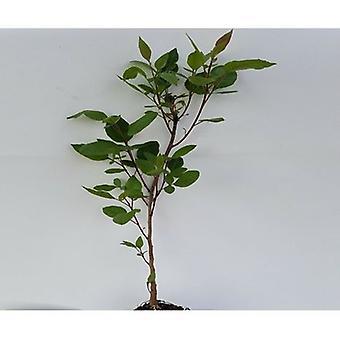 Pistacia bloemen (terpentijn boom)-plant