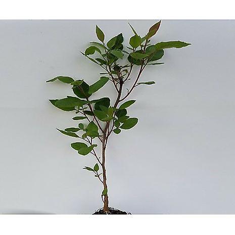 Pistacia terebinthus (Turpentine tree) - Plant