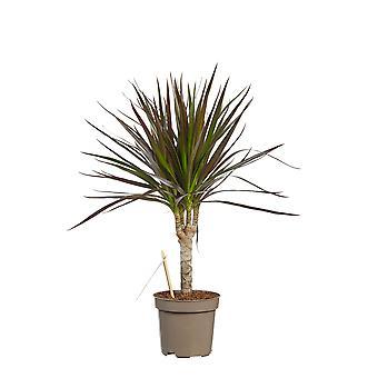 Dragetræ ↕ 45 til 125 cm   Dracaena Marginata Bicolor