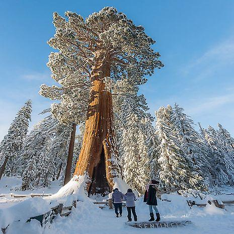 Sequoiadendron giganteum (Giant sequoia) - Plant