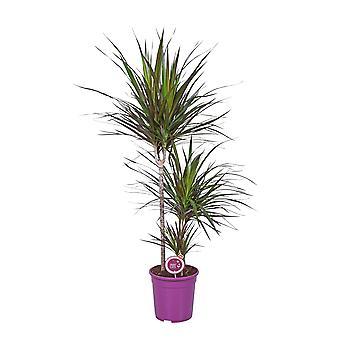 MoreLIPS® - Drakenbloedboom - luchtzuiverende kamerplant - in paarse kwekerspot Dracaena marginata Magenta