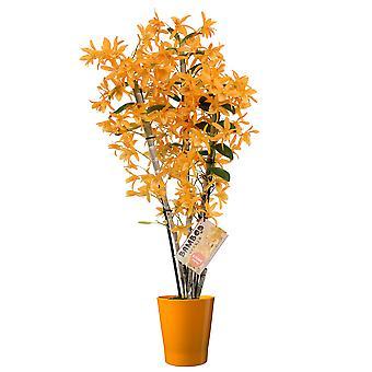 Orchidea – Bamboo Orchid w doniczce z terakoty jako zestaw – Wysokość: 55 cm, 3 łodygi, Pomarańczowe kwiaty