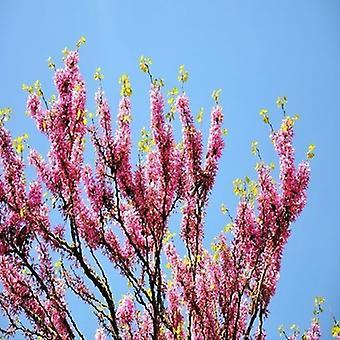 Cercis siliquastrum (Judas Tree)-100 zaden Bonsai