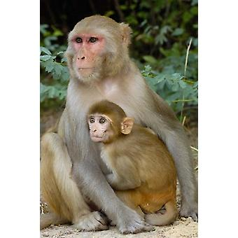 Rhesus-Makaken-Affen mit Baby Bharatpur Nationalpark Rajasthan INDIEN Poster Print von Pete Oxford