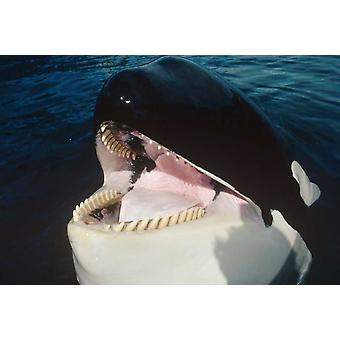 Orca portrait North America Poster Print by Flip Nicklin