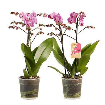 Choice of Green - 1 Phalaenopsis Multifl- a Purple - Butterfly Orchid