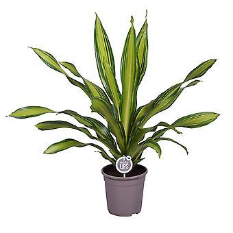 MoreLIPS® - Dragon Blood Tree - Ilmaa puhdistavan huonekasvin korkeus 105-115 cm Dracaena-tuoksut Charley