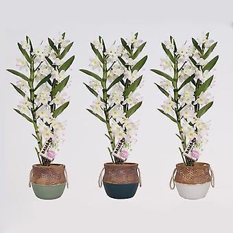 Orkideat alkaen Botanicly - 3 × Bamboo Orchid – Korkeus: 50 cm, 2 varret – Dendrobium nobile Kumiko
