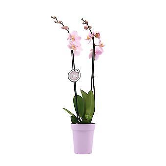 "MoreLIPS® - Phalaenopsis Orchidee ""Roze"" in Plastic Decopot - Hoogte 55-65 cm - Potmaat: 12 cm - Kwaliteits Vlinderorchidee"