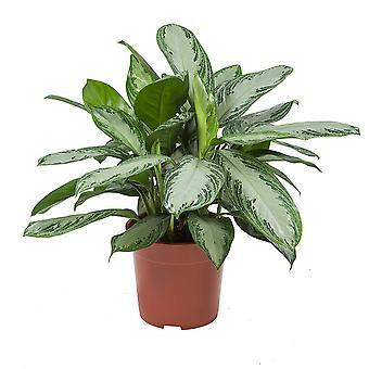 Planta Interna de Botanicly – Evergreens chinês – Altura: 70 cm – Baía de Prata de Aglaonema