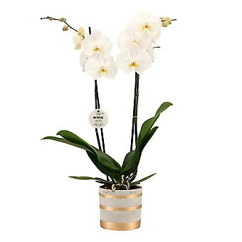 """Your Natural Orchid - Sustainable Phalaenopsis Orchid """"White"""" with Gold Stripes ceramic pot - height 55-65 cm"""