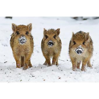 Kolme villisian porsaita Melle pienempi Saksi Saksa Juliste Tulosta, jonka Willi Rolfes