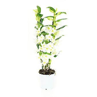 Orchid - Bamboo Orchid - Höjd: 60 cm, 2 stjälkar, vita blommor