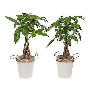 Lucky Chestnut ↕ 38 cm finns med planter | Pachira Aquatica