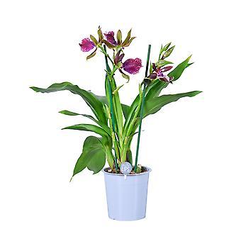 MoreLIPS® - Orchid - Zygopetalum 'Cher' - 2 tak - in kweekpot - hoogte 45-55 cm