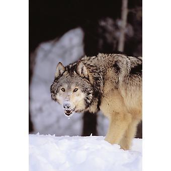 Lupo grigio Alaska Stalking preda In neve profonda di inverno PosterPrint