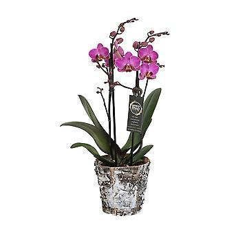 Orchid - Butterfly orkidea todellinen puu kasvi potin asettaa - Korkeus: 45 cm, 2 varret, vaaleanpunainen kukkia